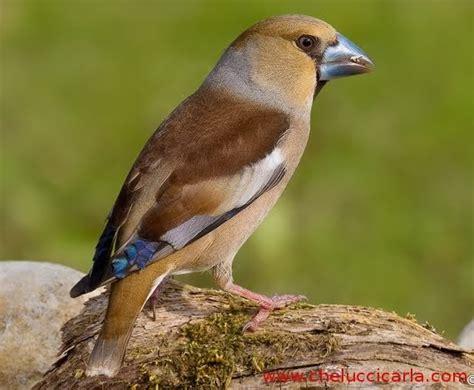 alimentazione quaglie chelucci carla uccelli vivi esemplari di frosone disponibili