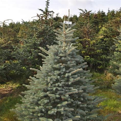 freshly cut blue spruce send me a christmas tree