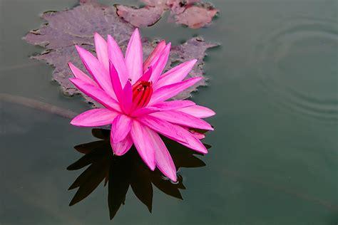 picture lotus free photo lotus pink lotus bo water plants free