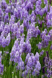 english lavender in bloom plant flower stock