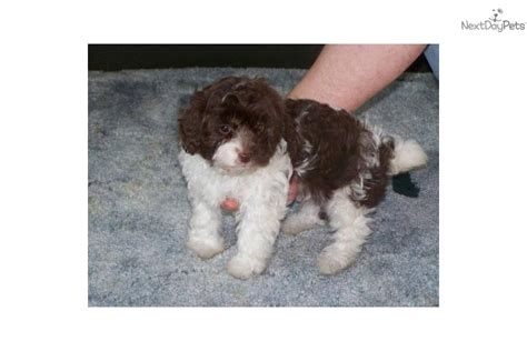 white yorkie poo white yorkie poo puppies meet spot a yorkiepoo yorkie poo puppy for sale for