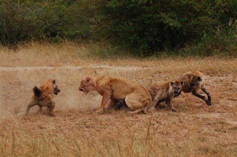 film lion vs hyena 301 moved permanently
