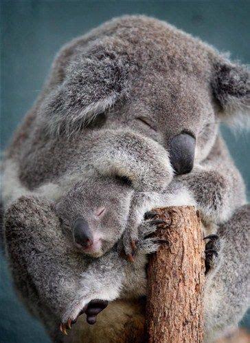 Metto Koala les 8441 meilleures images du tableau koalas sur