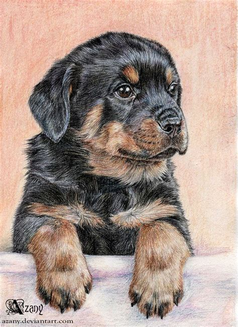 how to rottweiler how to draw a rottweiler puppy www pixshark images galleries with a bite