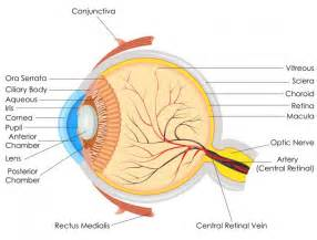 what is the colored part of your eye called scientists restore key parts of vision in blind mice for