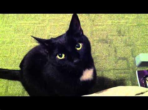 cute black cat youtube