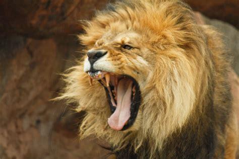 wallpaper binatang buas angry old lion 50d koorosh b flickr