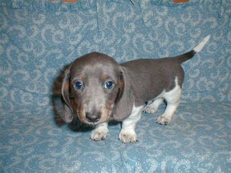 blue dachshund puppies for sale blue dachshund puppies www imgkid the image kid has it