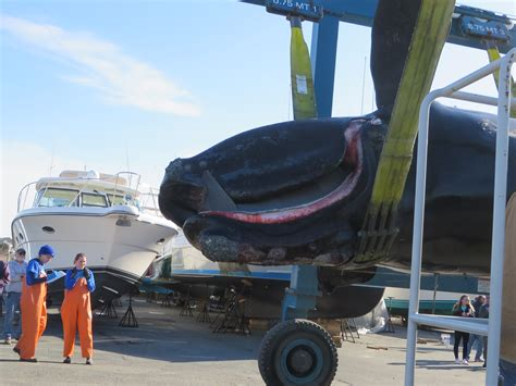boat crash cape cod canal right whale found dead in cape cod bay brought to shore in