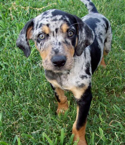 catahoula cur catahoula leopard dogs myideasbedroom