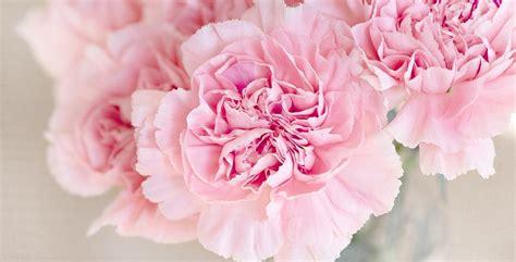 fiori di garofano garofano cure e coltivazione
