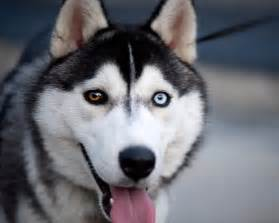 husky with different colored husky colors husky with different color real and