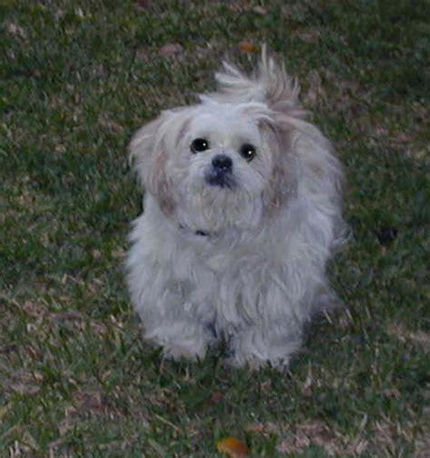 shih tzu rescue nebraska shih tzu rescue adopt lhasa apso adoption