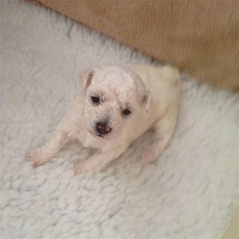 bichon frise puppy for sale bichon frise puppies for sale cambridge cambridgeshire pets4homes