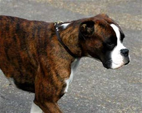 brown boxer puppy brown boxer picture image