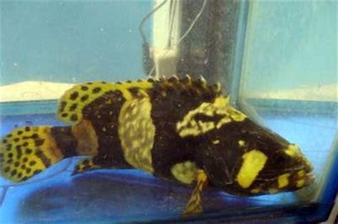 arafah aquarium kerapu bumblebee grouper