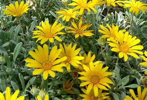 gazania fiore file gazania rigens sun gold 2 jpg