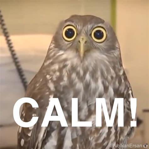 White Owl Meme - calm owl memes