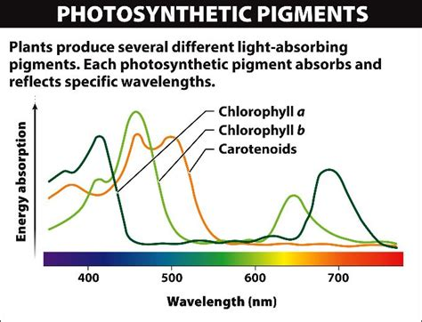 the absorption of light by photosynthetic pigments worksheet answers pigments 04 15 01