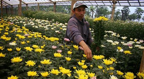 Pupuk Untuk Bunga Seruni 5 cara menanam bunga seruni bagi pemula ilmubudidaya