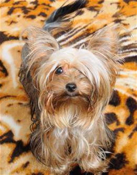 yorkie constipation yorkie constipation terrier information center
