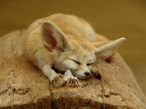 animal wildlife fennec foxe facts  images