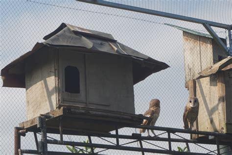membuat rumah burung hantu burung hantu bantu petani kendalikan tikus balebengong