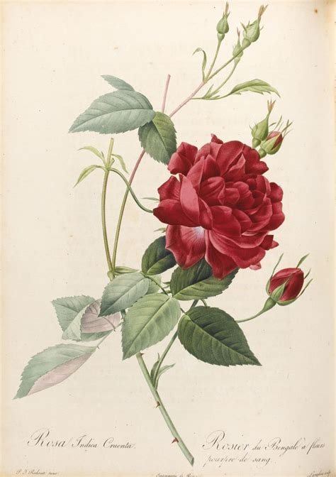 redoute the book of 97 63 best pierre joseph redout 233 images on botanical illustration botany and stone