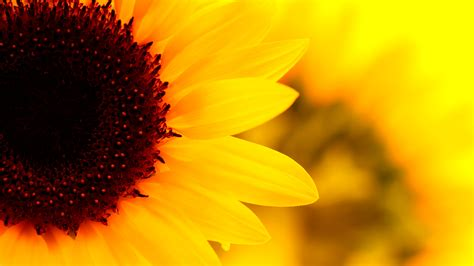 sunflowers background sunflower wallpapers best wallpapers