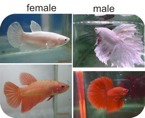 Makanan Ikan Cupang Kawin cara ikan cupang berkembang biak bagian 3 beternak ikan