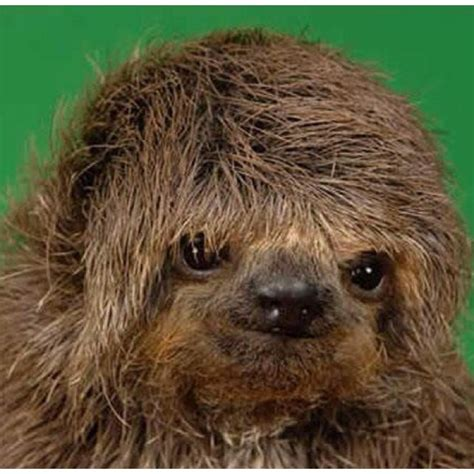 sloths as pets bing images