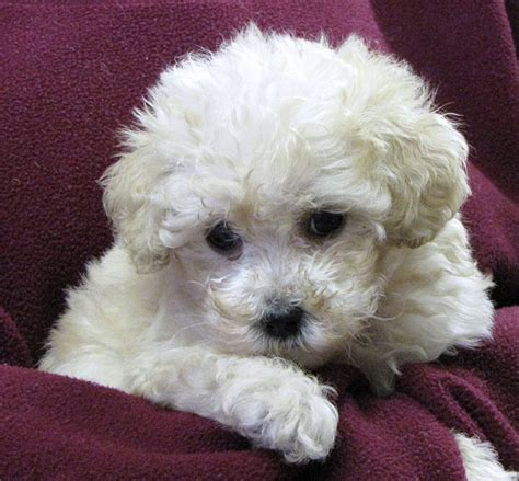 poodles puppies images of different types of poodles breeds picture