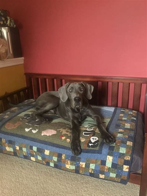 great dane beds 17 best ideas about great dane bed on pinterest doggie
