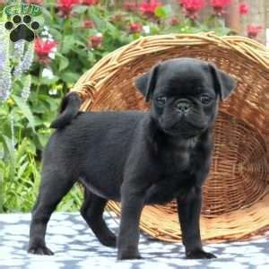 pug puppies for sale in lancaster pa pug puppies for sale in pa greenfield puppies