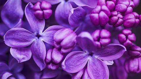 purple lilac flowers of lilac purple color ups desktop