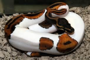 python colors python morphs