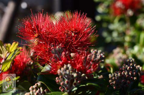 australian flowering shrub photos of nature photos of australian flowers