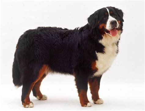 bernese mountain temperament bernese mountain breed information facts pictures temperament and characteristics