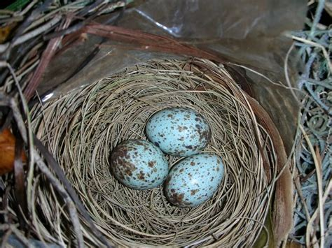 when do cardinals lay eggs cardinal bird eggs