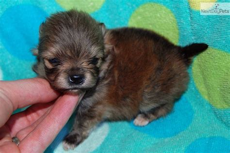 teacup pomeranians for sale in louisiana dogs and puppies for sale and adoption oodle marketplace