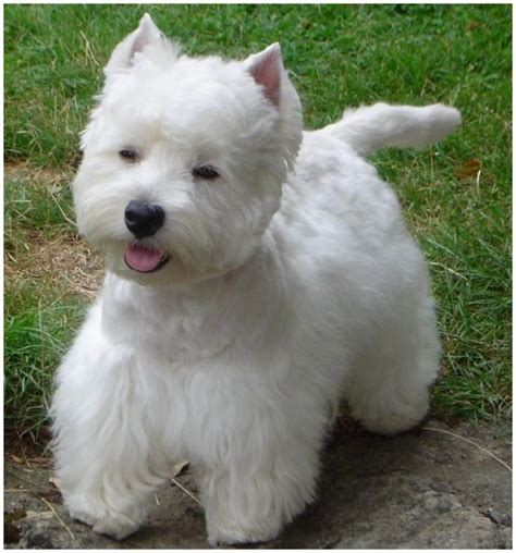 black west highland terrier puppies for sale westie breeders