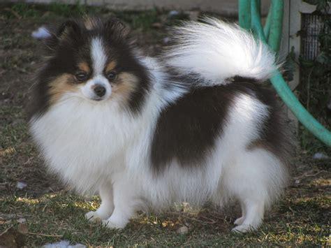 where to get a pomeranian s 25 tricolor breeds