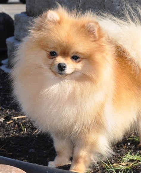 pomeranian breeders oregon 62 best ideas about gemini pomeranians on tans boys and diy shoo