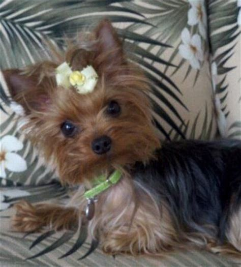 teacup yorkie clothes 1748 best yorkies images on