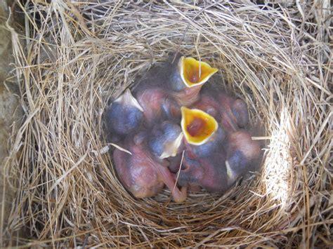 baby bird in nest drawing