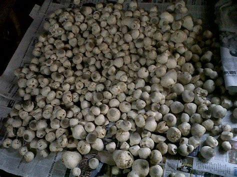 penanaman cendawan jerami padi menggunakan tandan sawit