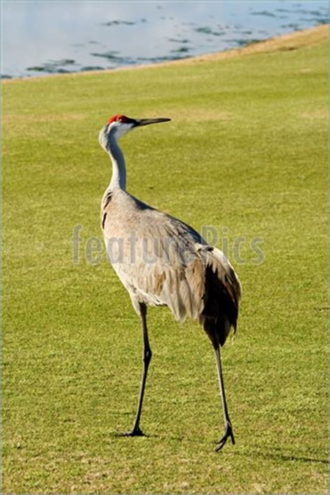sandhill crane golf course in sandhill crane grus canadensis florida photo