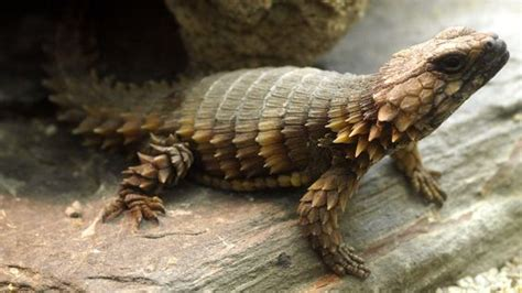 armadillo lizard facts  pictures reptile fact