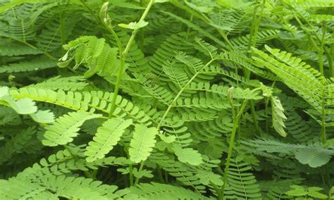 Jual Bibit Sengon Tasikmalaya harga bibit pohon sengon solomon di padang www