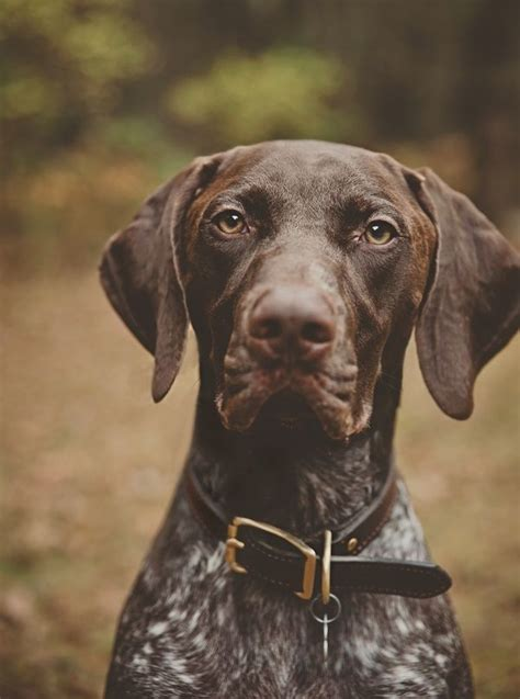 german shorthaired pointer puppies price 169 hadley photography daily tag handsome german shorthaired pointer